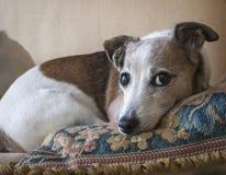 Jack Russell Terrier Resting arkivbild