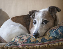 Jack Russell Terrier Resting. A small female Jack Russell Terrier resting on a needlepoint pillow stock photography