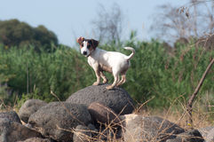 Jack Russell Terrier on rock. Jack Russell Terrier dog standing on rocks next to field on sunny day Stock Image