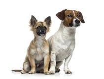 Jack Russell Terrier (1 roczniak) Zdjęcie Stock