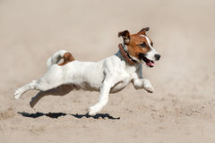 Jack russell terrier run Royalty Free Stock Image
