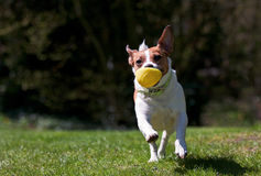 Jack Russell terrier running with ball Royalty Free Stock Photos