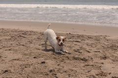 Jack Russell terrier running Stock Photos