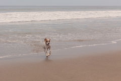 Jack Russell terrier running Royalty Free Stock Photos