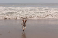 Jack Russell terrier running Stock Photography
