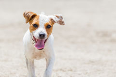 Jack Russell Terrier Running, Focus On The Face Stock Image