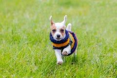 Jack Russell Terrier Running, foyer sur le visage photographie stock libre de droits