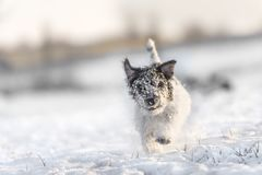 Jack Russell Terrier is running in the frosty white winter in na stock photography