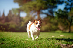 Jack Russell Terrier running on green grass Stock Photos
