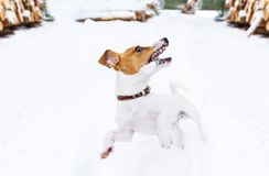 Jack Russell Terrier running and jumping on camera in winter forest royalty free stock photography