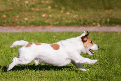 Jack Russell Terrier running outside Stock Photo