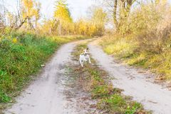 Jack Russell Terrier running with a stick outdoors royalty free stock images