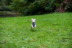 Jack Russell Terrier Running sur l'herbe avec la branche d'arbre dans la bouche photos libres de droits