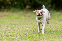 Jack Russell Terrier Running Toward To l'appareil-photo images stock