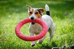 Jack Russell Terrier running witn toy royalty free stock image