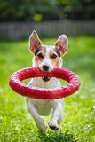 Jack Russell Terrier running witn toy royalty free stock photos