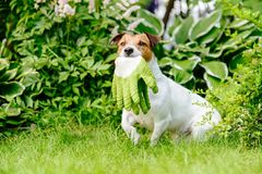 Dog as gardener assistant fetches garden gloves. Jack Russell Terrier runs among flowers Royalty Free Stock Photos