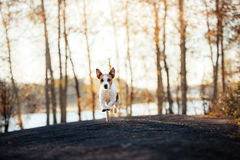 Jack Russell Terrier runs and looks forward Royalty Free Stock Images