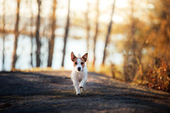 Jack Russell Terrier runs and looks forward Stock Image