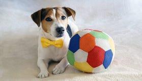 Jack Russell Terrier se trouvant sur le lit avec son jouet préféré Sur Images stock