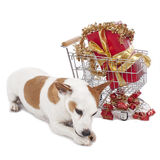 Jack Russell Terrier beside shopping card xmas Royalty Free Stock Photography