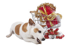 Jack Russell Terrier beside shopping card xmas Royalty Free Stock Images
