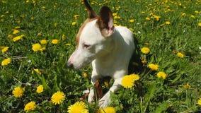Jack Russell Terrier si siede sul prato con erba video d archivio