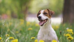 Jack Russell Terrier si siede sull'erba, intorno a molti fiori gialli stock footage