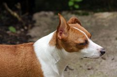 Jack Russell Terrier Side View Royalty-vrije Stock Foto