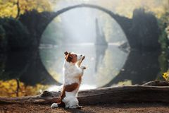 Jack Russell Terrier near the bridge royalty free stock image