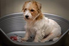 Jack Russell Terrier sitter i hundsäng med en leksak royaltyfria foton