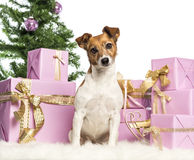 Jack Russell Terrier sitting Royalty Free Stock Image