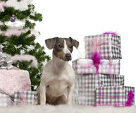 Jack Russell Terrier, sitting with Christmas Stock Images