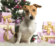 Jack Russell Terrier sitting in front of Christmas decorations Stock Photography