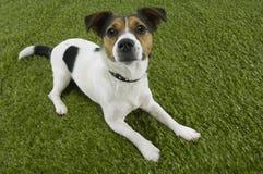 Jack Russell Terrier Sitting On Grass Imagen de archivo libre de regalías