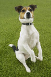 Jack Russell Terrier Sitting On Hind Legs Royalty Free Stock Photo