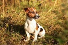 Jack Russell terrier sitting in low autumn grass, looking to sid stock photography