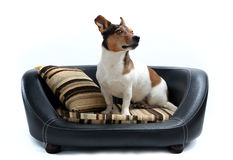 Jack Russell Terrier sitting on Luxury Dog Bed Stock Photo