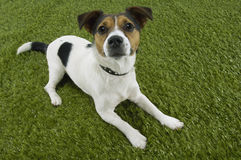 Free Jack Russell Terrier Sitting On Grass Royalty Free Stock Image - 31840206