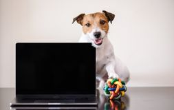Work-life balance concept with dog with toy ball under paw interrupting work of self-employed person royalty free stock photos