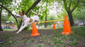 Jack Russell Terrier skacze nad barierą w parku Psi szkolenie, zwierzęta domowe zbiory