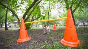 Jack Russell Terrier skacze nad barierą w parku Psi szkolenie, zwierzęta domowe zdjęcie wideo