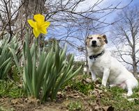 Jack Russell Terrier Sleeping Beside a Daffodil. A short legged Jack Russell Terrier dozing off near a Daffodil after a big romp stock images