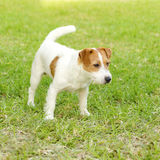 Jack Russell Terrier. A small white and tan rough coated Jack Russell Terrier dog standing on the grass, being alert. It is known for being confident, highly Royalty Free Stock Images