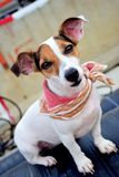 Jack russell terrier Smile Stock Image