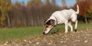 Jack Russell Terrier sniffar i ett fält och följer en slinga royaltyfri bild