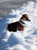 Jack russell terrier in the snow Stock Images