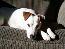Jack Russell Terrier Soaking Up liso o Sun Fotografia de Stock