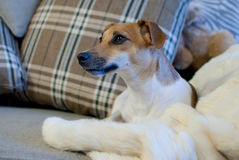 Jack Russell Terrier. In the sofa Stock Photos