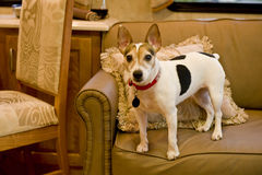 Jack Russell terrier on sofa Stock Images